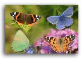 butterflies montage